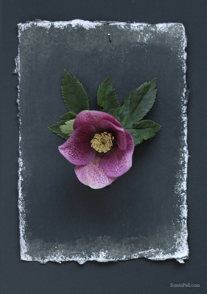 hellebore by Sania Pell