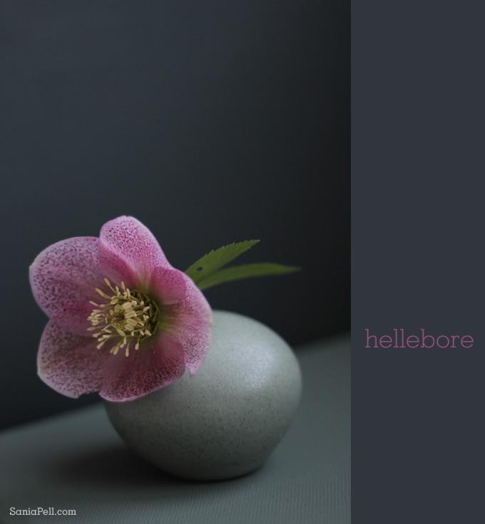 hellebore by Sania Pell